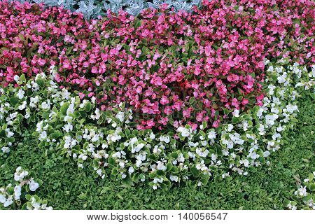 Pink and white flowers tuberous begonias on the flowerbed in the garden