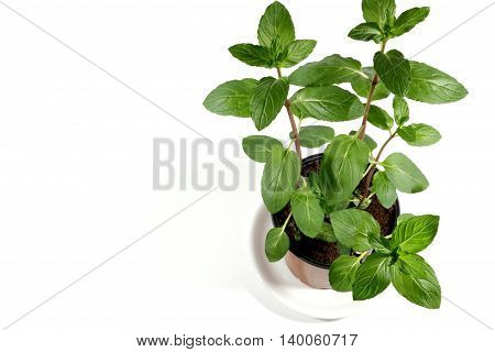 Fresh mint herb in a pot over white background