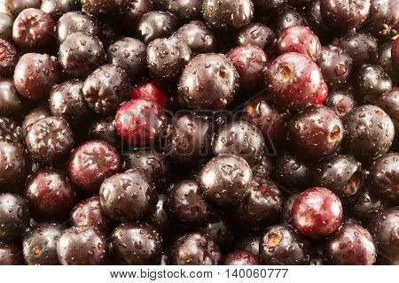 Closeup of sweet and wet aronia berries