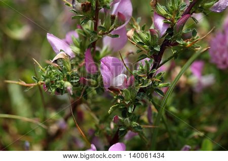A flowering spiny restharrow (Onosis spinosa) in Southern Europe.