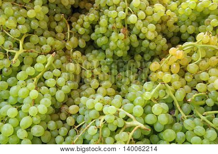 Small green grapes in bunches with stems