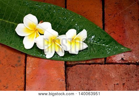 Blooming white Plumeria or Frangipani flowers on green leaf and the brick floor.