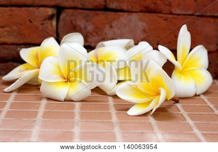 Blooming white Plumeria or Frangipani flowers on the floor and brick wall background