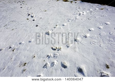 The footprints of migrating Canada geese (Branta canadensis) on newly fallen snow in Joliet, Illinois during November.