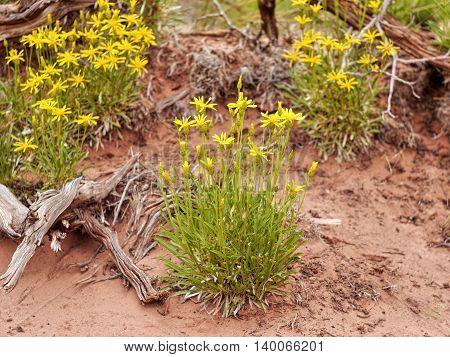 Desert yellow flowers in the sand. Utah USA