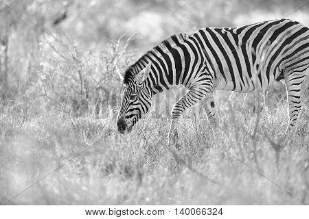 Zebra in the kruger national park in South Africa