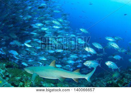 Shark and fish. Whitetip Reef Shark and Bigeye Jacks fish. Sipadan Island, Malaysia