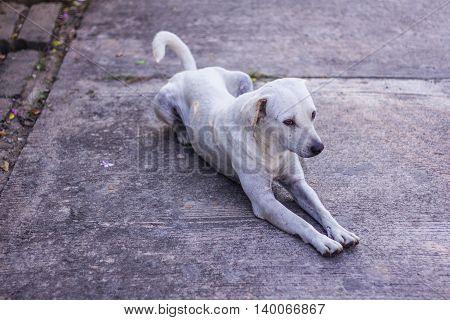 thai white stray dog , pet animal