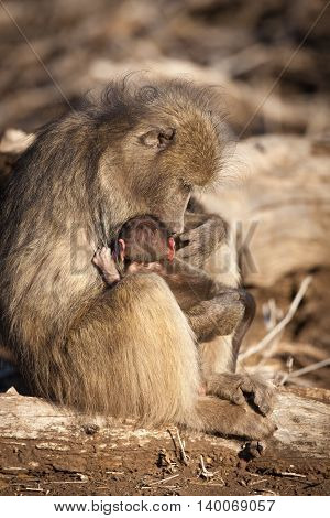 Mother and baby baboon in the Kruger National Park - South Africa