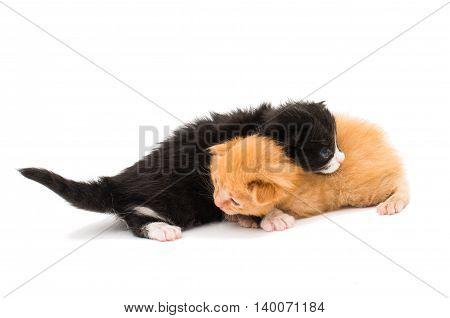 little kittens animal, kittens on white background