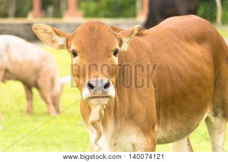 Cow in farm system animal welfare and background of nature view of farm.