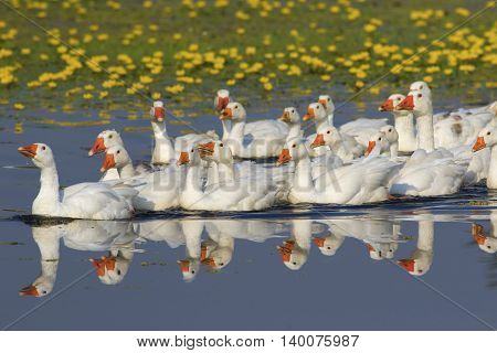 Flock of white domestic geese swimming on the lake