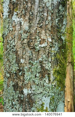 a picture of an exterior Pacific Northwest forest Oregon ash  tree with lichens