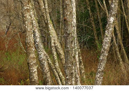 a picture of an exterior Pacific Northwest forest grove of Alder trees