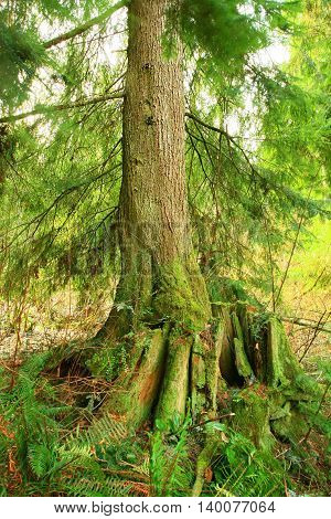 a picture of an exterior Pacific Northwest forest second growth  Western hemlock tree