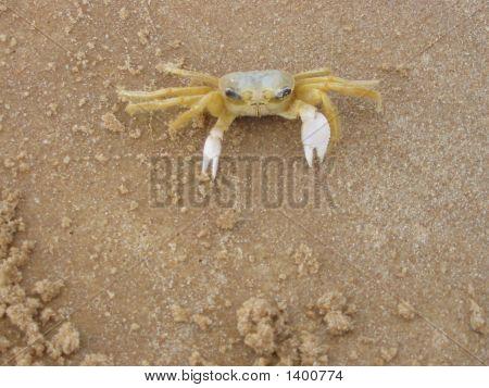 Brazilian crab