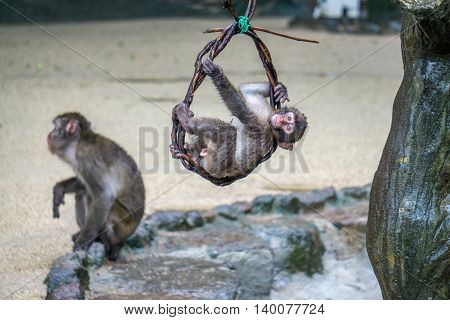 Japanese Macaque baby hanging from a vine and playing outside.