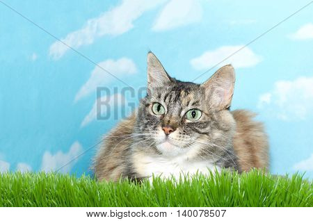 gray black brown and white long haired tabby cat laying in tall grass looking to viewers left blue sky background with white clouds. Copy space