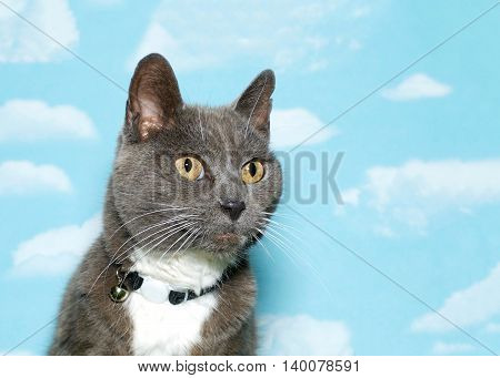 Old scruffy gray and white tabby wearing a collar looking up and to the viewers right side blue sky background with clouds. Copy space.
