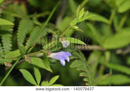 Skullcap - Scutellaria galericulata Small Blue Waterside Flower