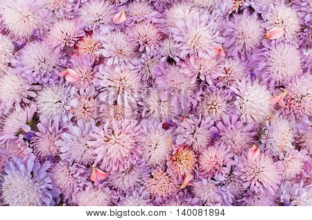 Beautiful fresh asters variety, floral background. Spring, blossom concept