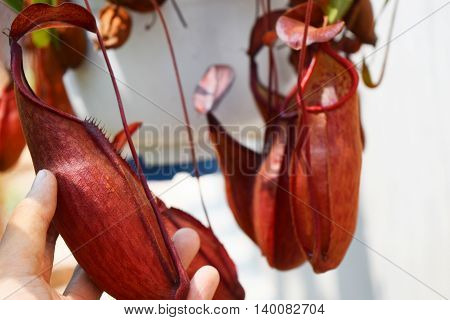 hand holding beautiful pitcher carnivorous plant pot Nepenthes in Vietnam with exotic pitcher