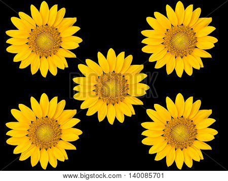 The beautiful sunflowers isolate on black background