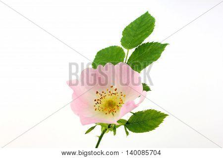 Rosa canina - wild rose blossom on white background.