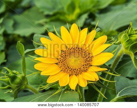 Closeup a sunflower in the green garden