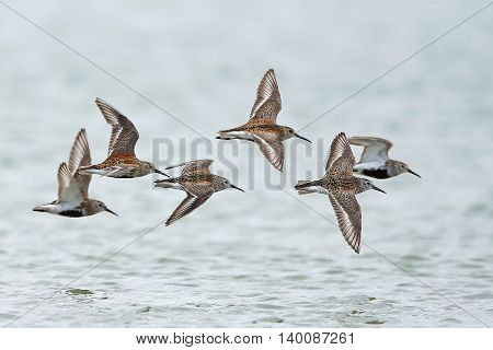 Dunlins (Calidris alpina) in flight with water in the background