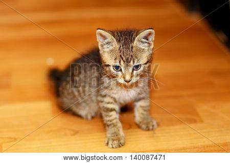 adorable sweet little kitty on wooden floor