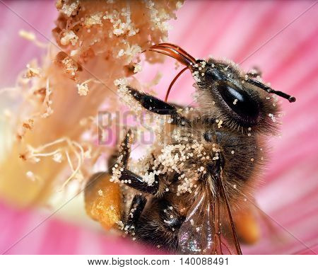 Bee with the pollen. Macro. It is clearly seen the process of collecting pollen