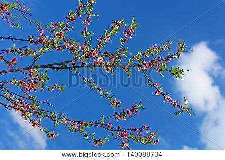 Blossoming peach on a blue sky background