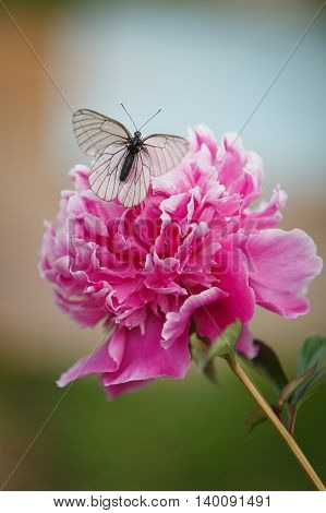 Beautiful small white butterfly sitting on peony. Summer time background. Nature.