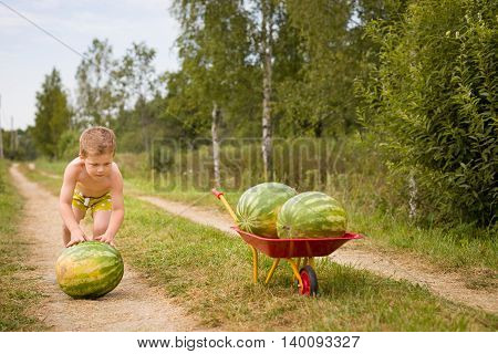 Adorable little kid boy rolls watermelon to a garden cart with two large watermelons on it. Harvest in the countryside. Watermelons in the village. little helper. summer vacations in countryside