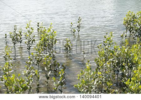 Coastal mangroves growing in the river estuary at Whangarei New Zealand NZ.