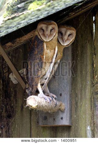 Barn_Owls_Color
