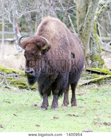 Buffalo2_Color