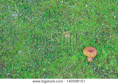 The lonely brown mushroom on green moss