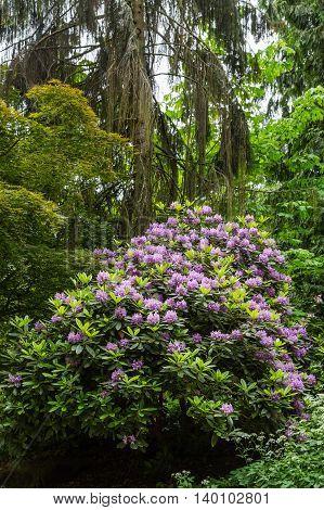 A Purple Rhododendron in a public Garden