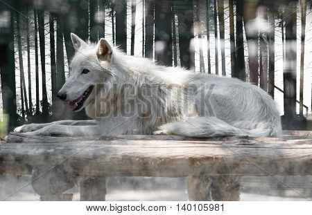 wild animal arctic white wolf lying close-up