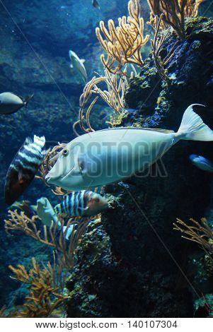 Whitemargin Unicornfish in the aquarium for education