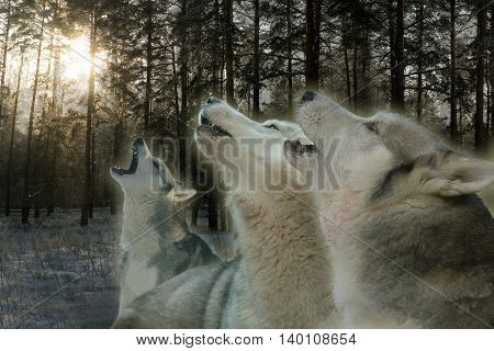 three wolves howling in the winter forest