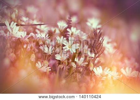 Blooming white flowers in meadow - beautiful nature (beautiful meadow)