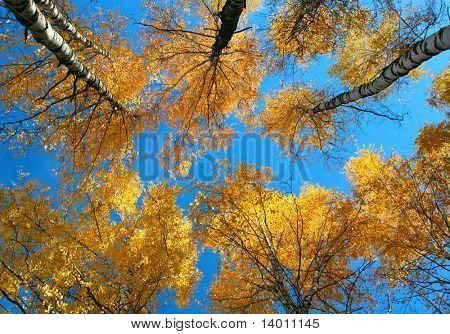 Árboles amarillos y azul cielo. Ve desde abajo