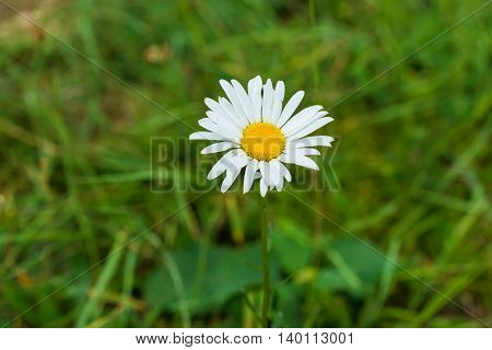 Close-up photo of beautiful wild chamomile on summer meadow