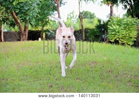 White labrador running fast on the green ground