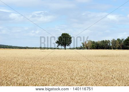 lonely tree behind a cornfield in summer