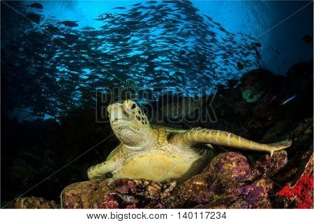 Green Sea Turtle rests on coral reef ledge, with school Bigeye Trevally fish in background