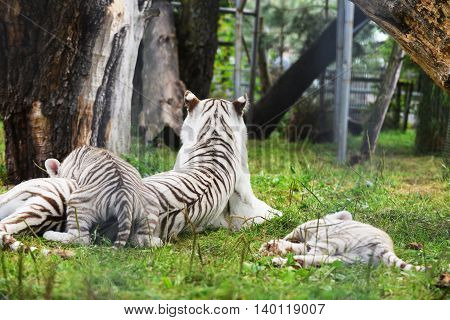 few Tigers lie on grass at zoo